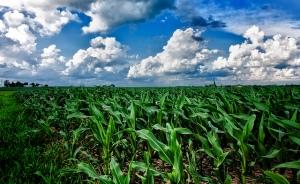 iowa.cornfield